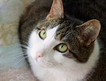 Beautiful cat with bright green eyes looking up royalty free stock images