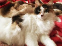 Beautiful cat. Calico ragamuffin kitty laying on a soft blanket keeping warm Royalty Free Stock Photo