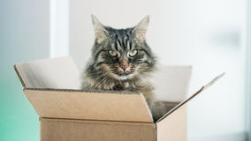 Beautiful cat in a cardboard box. Beautiful long hair cat sitting in a cardboard box and looking at camera Royalty Free Stock Photo