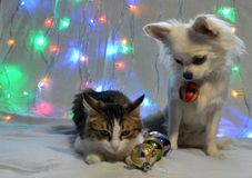 Beautiful cat and chihuahua dog with christmas balls royalty free stock photography