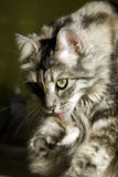 Beautiful cat cleaning itself. Portrait of a beautiful cat cleaning itself Stock Photos