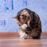 Beautiful cat cleaning itself. Beautiful european cat cleaning itself Royalty Free Stock Photos