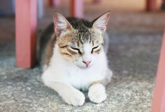 Beautiful cat with closed eyes sitting at a greek tavern Royalty Free Stock Photography