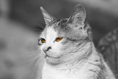Beautiful cat with colored eyes. Beautiful black&white cat picture with colored eyes Stock Photo