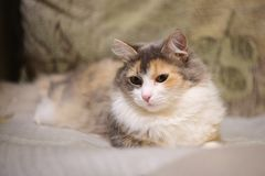 Beautiful Cat On the Couch. stock photography