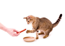 Beautiful cat eats cat-like meal Royalty Free Stock Photo
