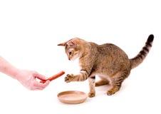 Beautiful cat eats cat-like meal. Beautiful bengal cat eats cat-like meal on the white background Royalty Free Stock Photo