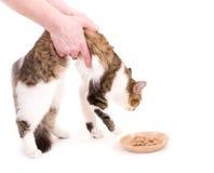 Beautiful cat eats cat-like meal Royalty Free Stock Photography