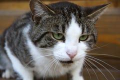 Beautiful cat evil bad. Beautiful gray cat evil bad Stock Photos