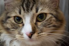 Beautiful cat with expressive eyes. Nclose-up stock images