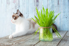 Beautiful cat with feline grass.  Cat Grass for cat health. Pet Stock Images