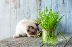 Beautiful cat with feline grass.  Cat Grass for cat health. Pet Stock Photography