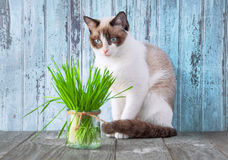 Beautiful cat with feline grass.  Cat Grass for cat health. Pet Stock Photo