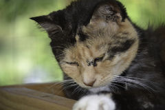 Beautiful cat getting sleepy and napping Royalty Free Stock Image