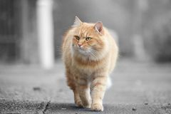 Beautiful cat. Beautiful ginger cat walk on the street stock photos