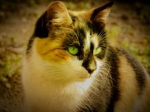 Beautiful cat with green eyes royalty free stock photo