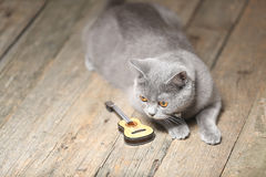 Beautiful cat and a guitar. British Shorthair kitten with orange eyes sitting next to a small guitar Royalty Free Stock Photos