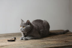 Beautiful cat and a guitar. British Shorthair kitten with orange eyes sitting next to a small guitar Stock Photography