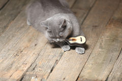 Beautiful cat and a guitar. British Shorthair kitten sitting next to a small guitar Royalty Free Stock Photos