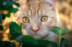 A cat hiding in the bushes. A beautiful cat hiding n the bushes, looking for prey Royalty Free Stock Images