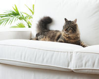 Beautiful cat at home. Beautiful cat lying on sofa in the living room looking away Stock Image