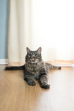 Beautiful cat at home Royalty Free Stock Photos