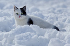 Free Beautiful Cat In The Snow Stock Image - 12901061