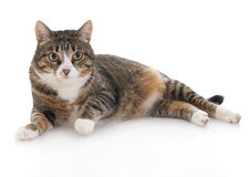 Beautiful cat isolated on a white Stock Images