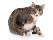 Beautiful cat isolated on a white Stock Photography