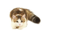 Beautiful cat isolated on white Stock Photography