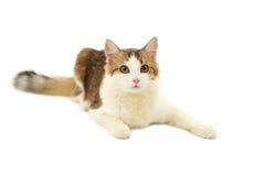 Beautiful cat isolated on white Royalty Free Stock Photo