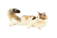 Beautiful cat isolated on white Stock Image
