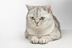 Beautiful cat. Stock Photography