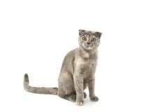 Beautiful cat isolated on white, close up Stock Photography