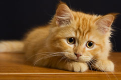 Beautiful cat kitten Stock Images