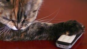A beautiful cat licks his legs stock video