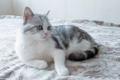 Beautiful cat lies in bed. beautiful cat with large green eyes resting. Model cat stock photography