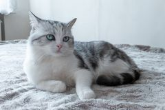 Beautiful cat lies in bed. beautiful cat with large green eyes resting. Model cat stock photos