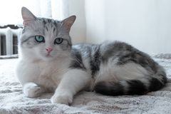 Beautiful cat lies in bed. beautiful cat with large green eyes resting. Model cat royalty free stock photography