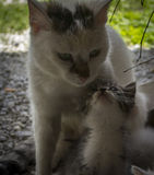 Beautiful cat and little kitty. Beautiful scene of a mother and son cat Stock Images