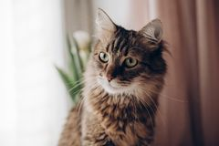 Beautiful cat look portrait. maine coon with amazing green eyes,. Big whiskers and funny emotions on background of window room with tulips. space for text Royalty Free Stock Image