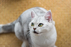 Beautiful cat looking Royalty Free Stock Image