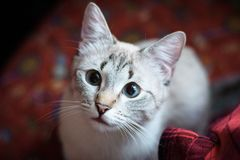 Beautiful cat looking up. A beautiful cat looks up at the host royalty free stock image