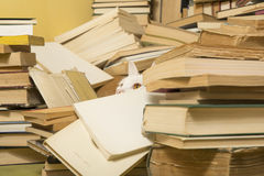 Beautiful cat lurking behind a bunch of books. Selective focus. Beautiful white cat lurking behind a bunch of books. Selective focus Stock Photography