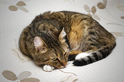 Beautiful cat lying on the bed Royalty Free Stock Images