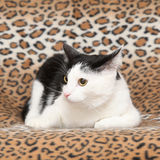 Beautiful cat lying on blanket Stock Photography