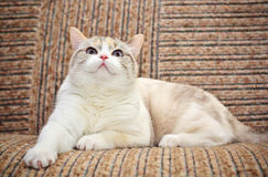 Beautiful cat lying on the sofa Royalty Free Stock Image