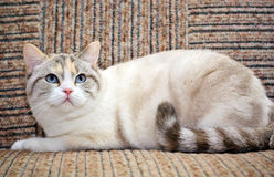 Beautiful cat lying on the sofa Royalty Free Stock Photo
