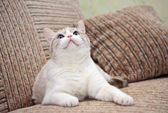 Beautiful cat lying on the sofa Stock Photos