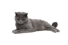 Beautiful cat lying on a white background Stock Images